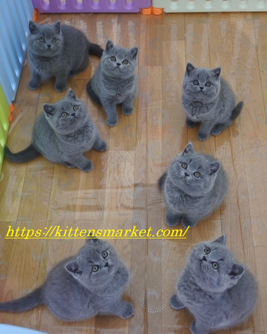 order specially raised british shorthair kittens from us