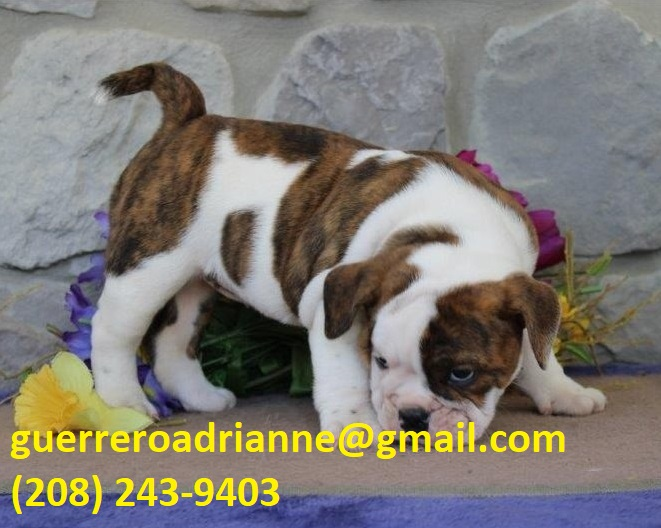 Baby Girl Sweetheart Beautiful Kc registered/ champion bloodlines English Bulldogs Puppies For A Lovely Home.