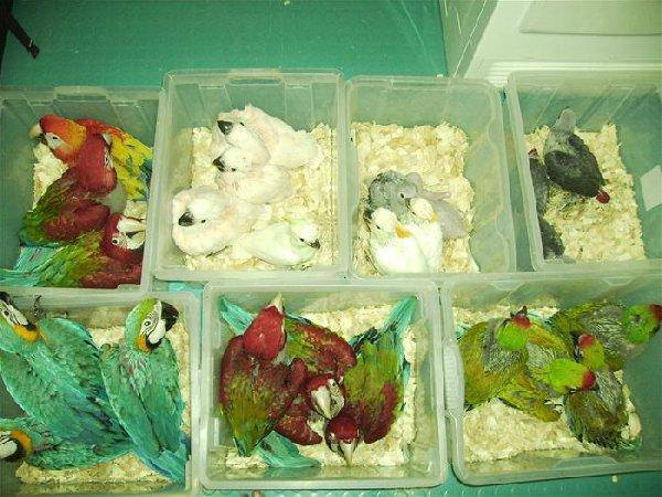 African grey,Macaw,Cockatoo parrots for sale