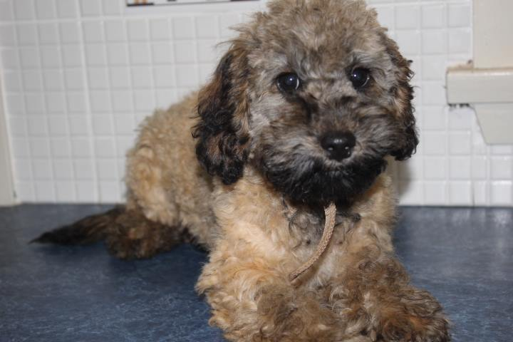 For Selling Cavoodle Puppies Miniature Groodles Toy Poodle Pups