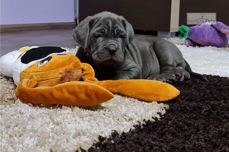 Top Quality Kc Registered Napoleonic Mastif pups