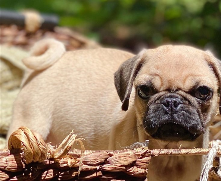 Pug puppies ready now