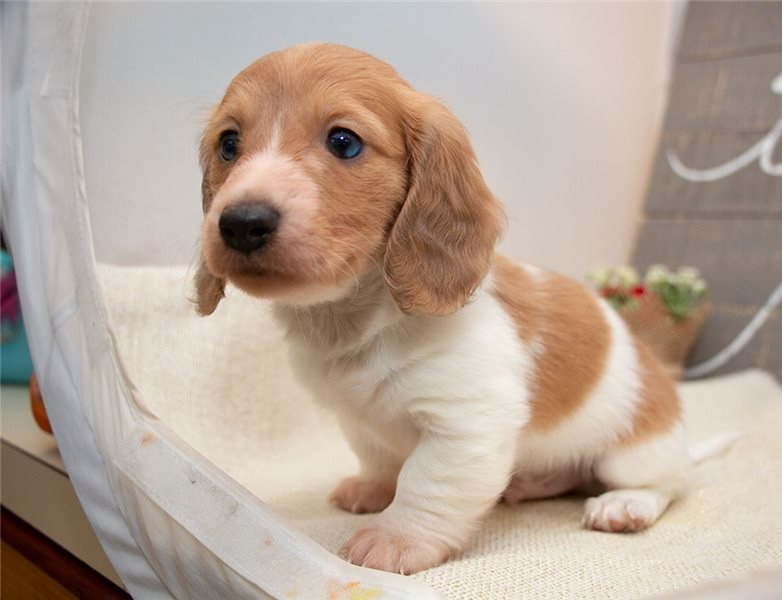 Male And Female Dachshunds Puppies For Adoption Text 218-380-7886