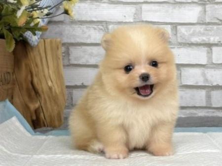 Purebred female Pomeranian Puppies For Sale