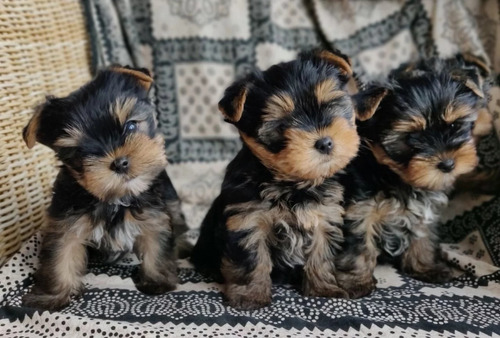 Teacup Yorkshire Terrier, Shih Tzu and Maltese